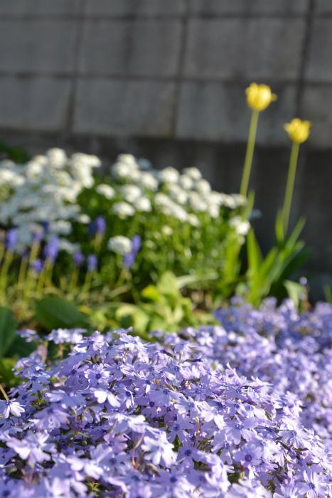 ブログ春の花9