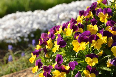 ブログ春の花6