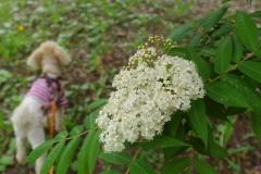 ナナカマドの花