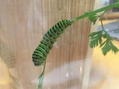 キアゲハの幼虫