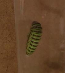 キアゲハの幼虫 前蛹