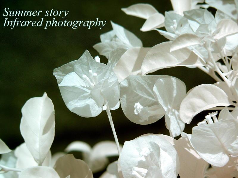 ブーゲンビリアInfrared photography