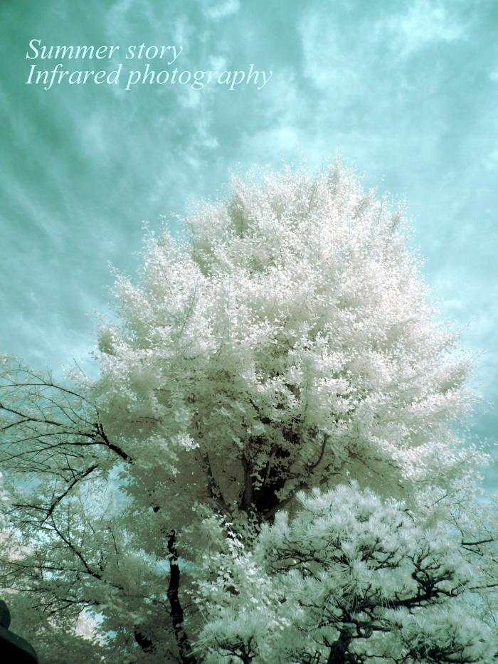 赤外線写真:銀杏