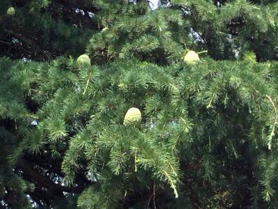 ヒマラヤ杉 松ぼっくり ipad