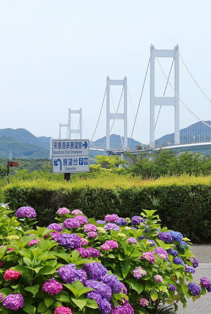 来島海峡と紫陽花3