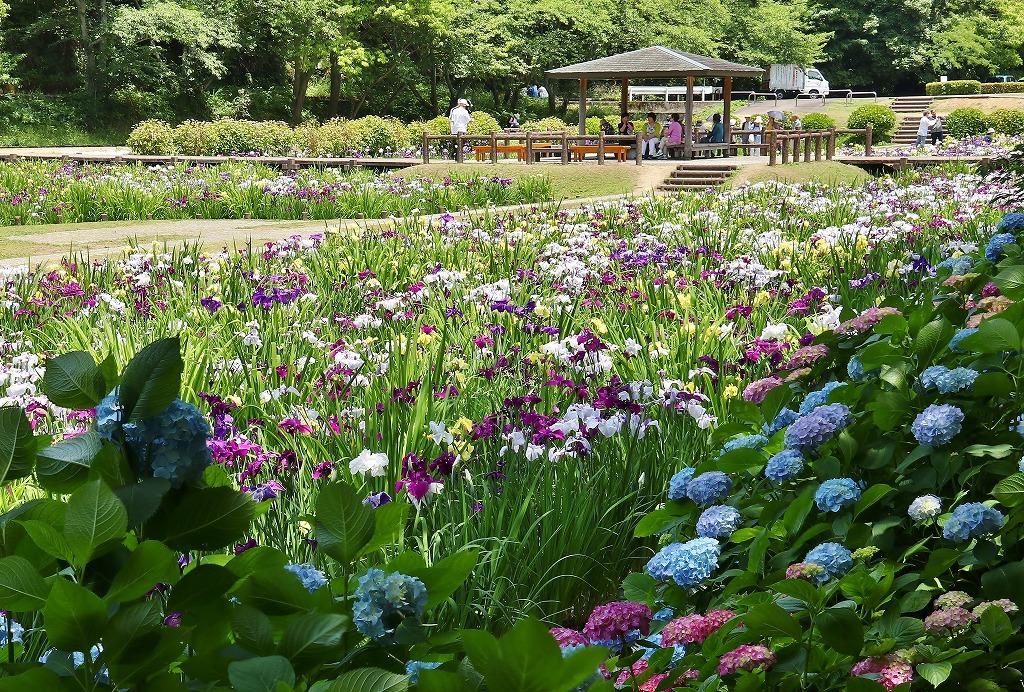紫陽花と菖蒲1