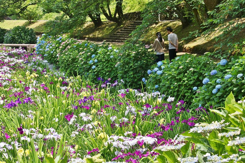 紫陽花と菖蒲3