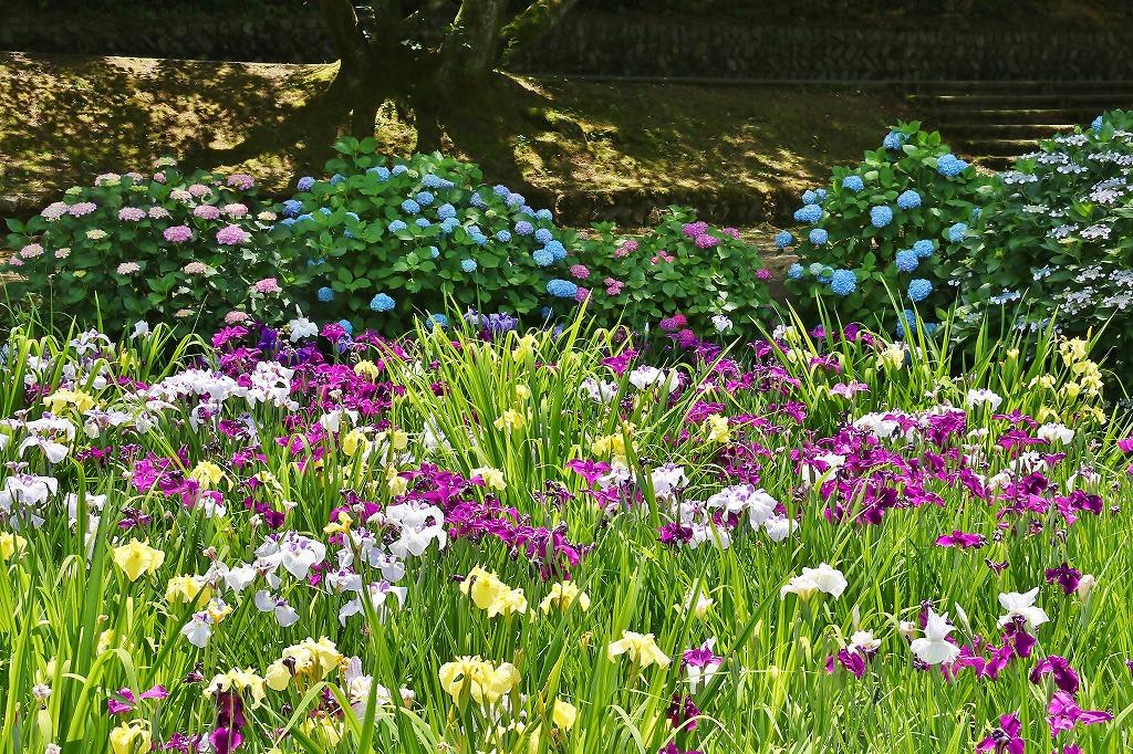 紫陽花と菖蒲4