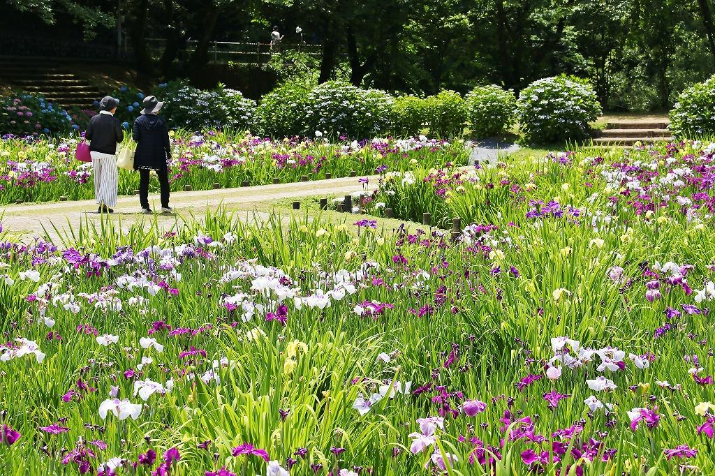 紫陽花と菖蒲5