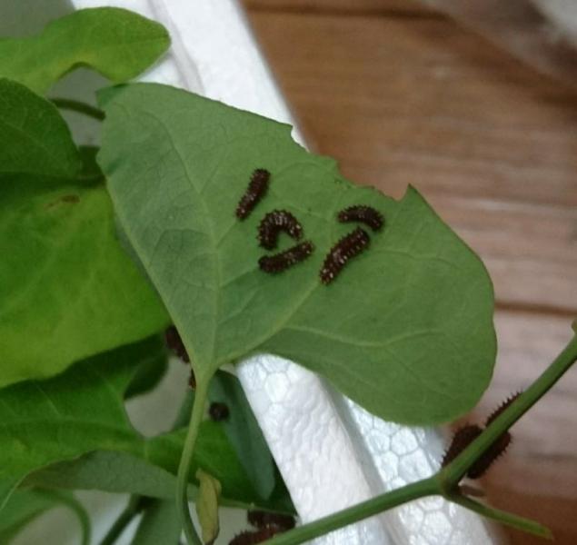 兵庫県産♂×ミヤコジャコウ♀幼虫