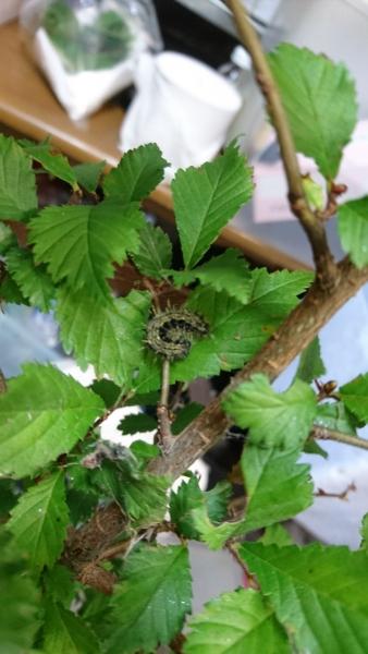 ハルニレについていたアカタテハ幼虫