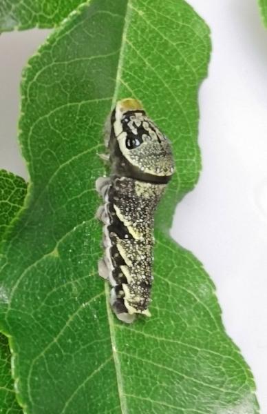 北海道産黒い4齢幼虫2