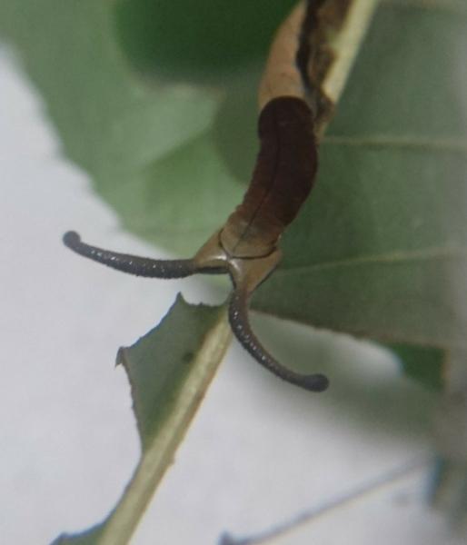 スミナガシ幼虫2017➁