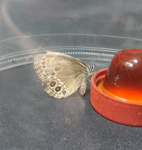 ウラジャノメ母蝶2017