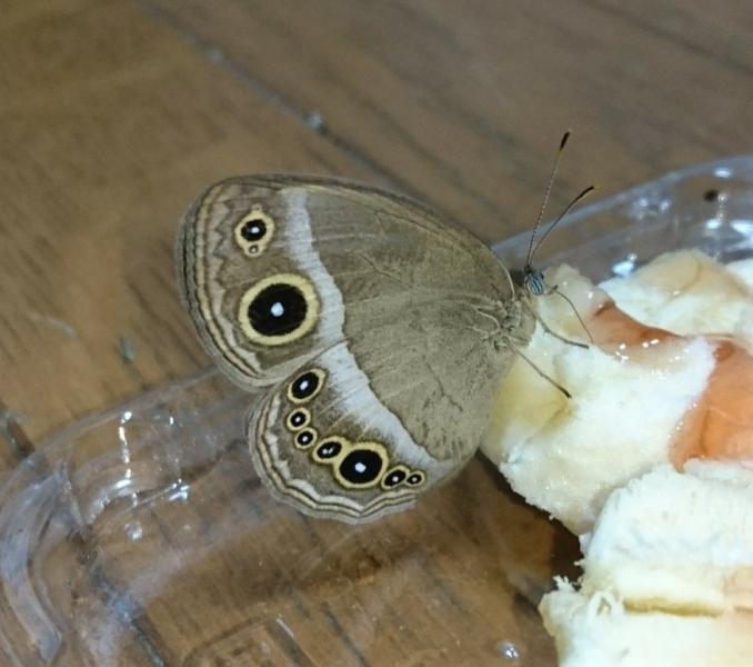 コジャノメ母蝶