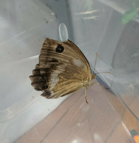 ジャノメチョウ母蝶2017