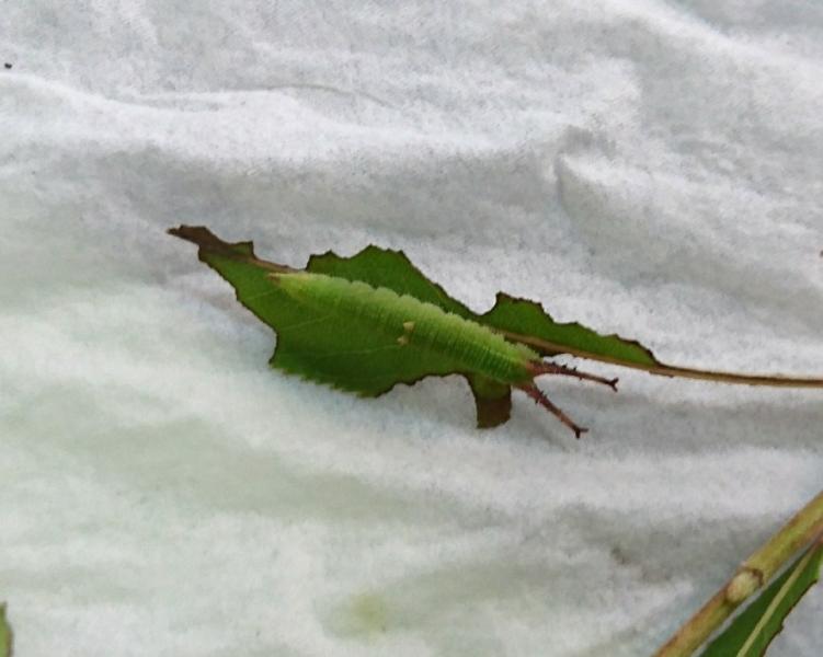 クロコムラサキ幼虫①