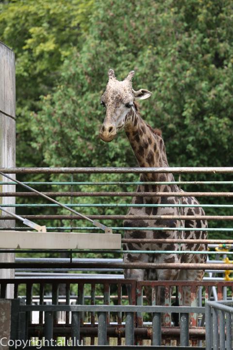 円山動物園 マサイキリン ナナコ