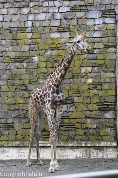 円山動物園 マサイキリン