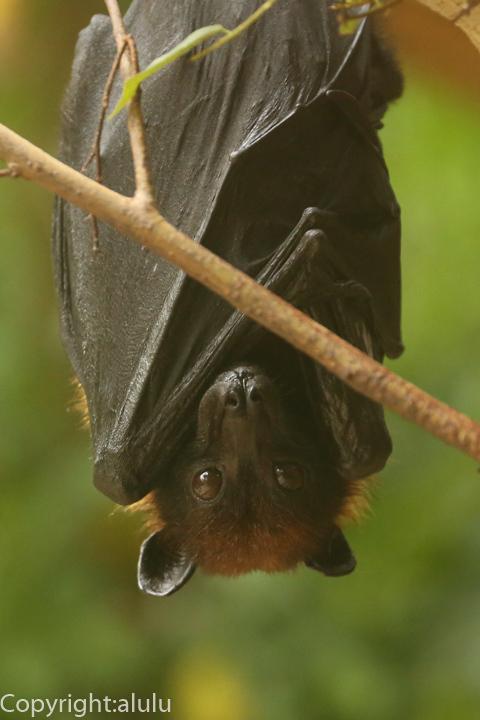 インドオオコウモリ 動物写真