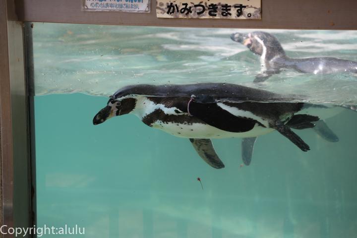 東京 フンボルトペンギン 動物園