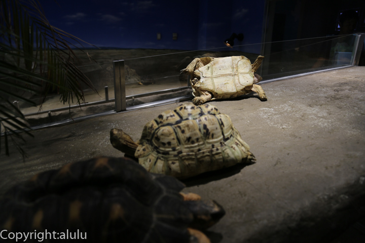 日本平動物園 は虫類館 ヒョウモンガメ