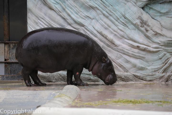 上野動物園 世界三大珍獣 コビトカバ