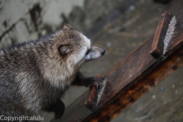 東山動物園 タヌキ