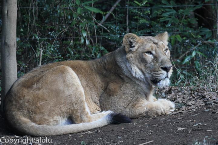 インドライオン メス ズーラシア