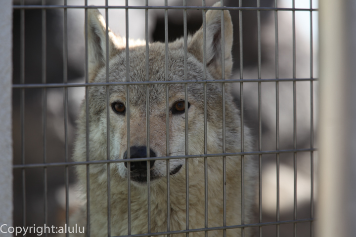 天王寺動物園 チュウゴクオオカミ