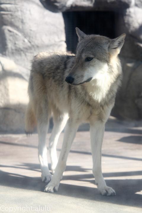 チュウゴクオオカミ 天王寺動物園