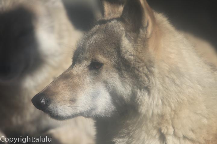 チュウゴクオオカミ 動物写真