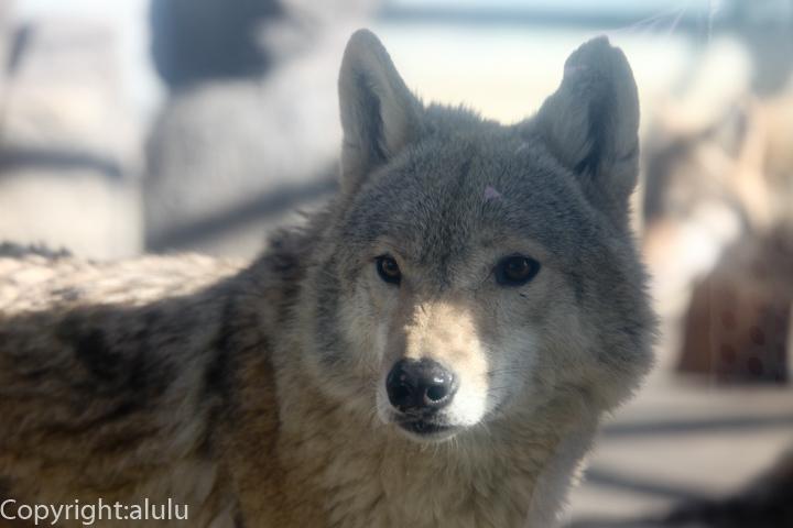 チュウゴクオオカミ 画像