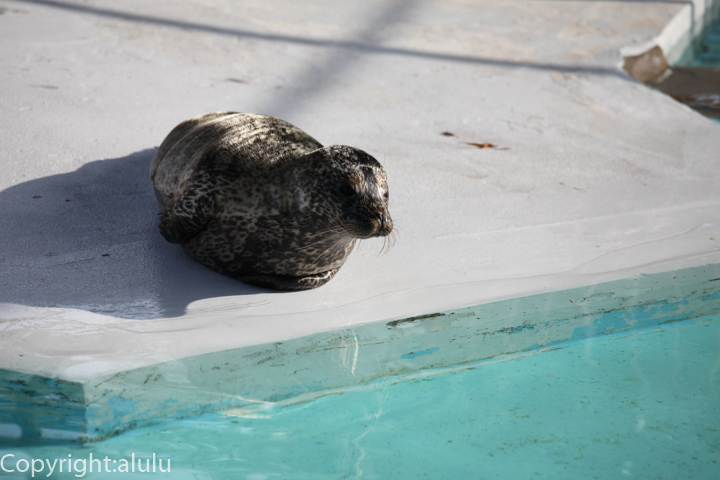 ゼニガタアザラシ 動物写真