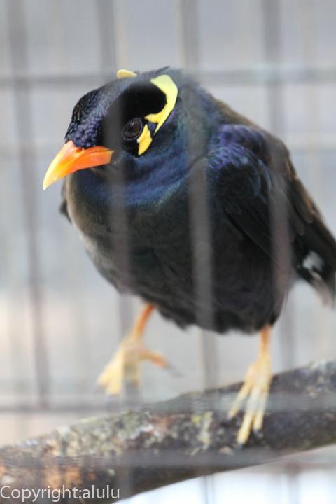九官鳥 画像