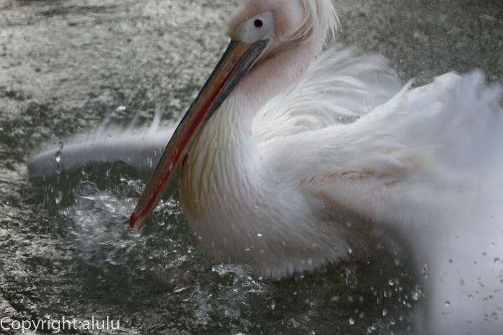 天王寺動物園 モモイロペリカン