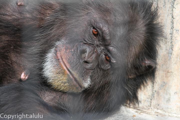 静岡市立日本平動物園 サル チンパンジー