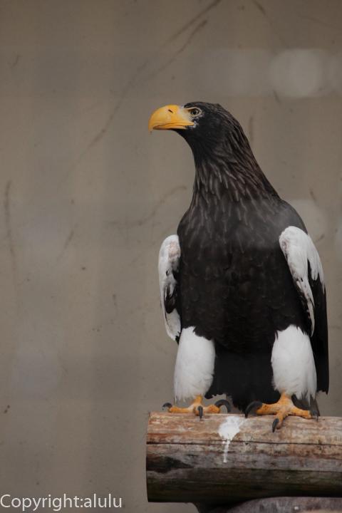 オオワシ 福岡市動物園 画像