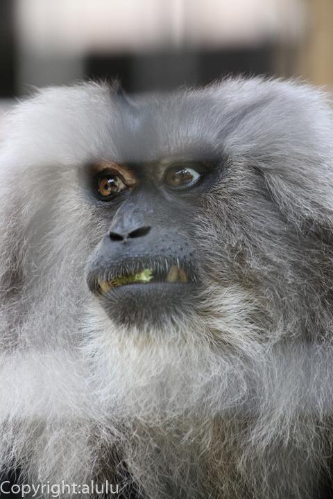 シシオザル 動物写真