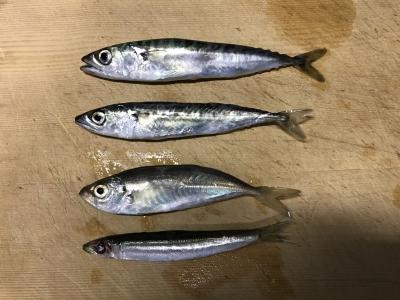 サビキ釣り 魚種