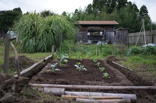 芽キャベツとブロッコリーの定植