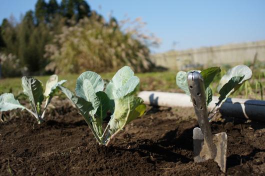 ロマネスコ ダヴィンチの苗 定植
