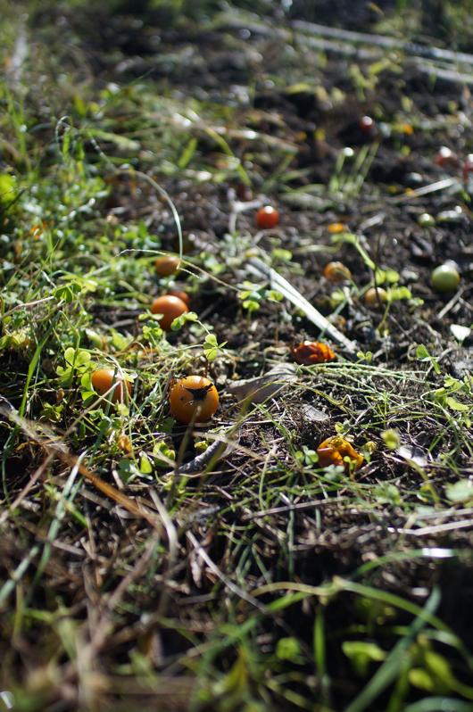 トマト畑の残骸