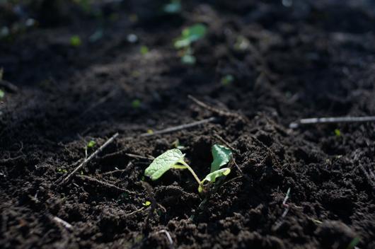 ごぼうの苗 定植