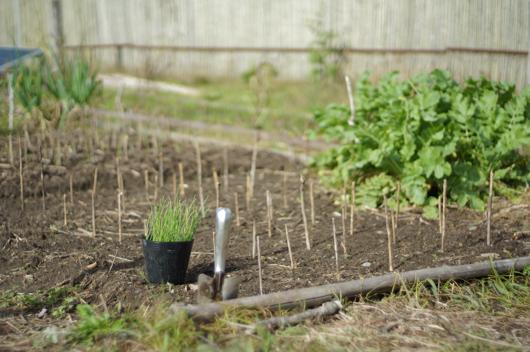 玉ねぎの苗 植え付け