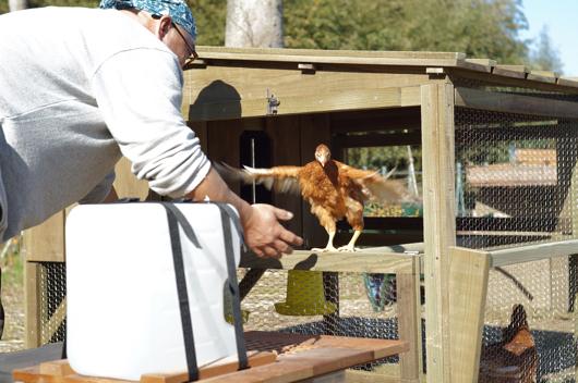 チキントラクター 鶏さんご入居