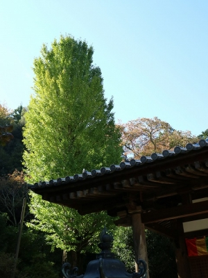 神童寺の大銀杏