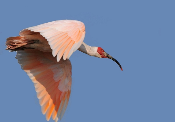 トキ飛翔フリー画像