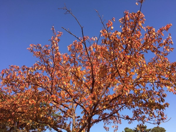 2017-11-03 桜の紅葉