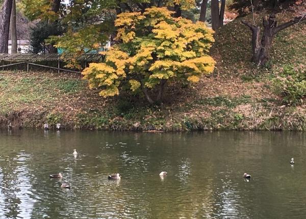 2017-11-18高田公園カモ